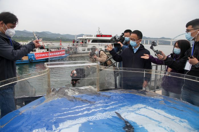 Sturgeons release will play a positive and significant role in promoting the ecological restoration of the Yangtze River Basin and supporting the high-quality development of the Yangtze River Economic Belt. Photo by Lei Yuan