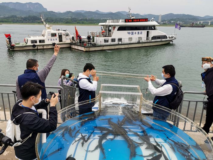 The Chinese sturgeons release event has been held every year since 1984, non-stop. On top of that, CTG also organizes open-day activities, inviting residents along the Yangtze River to participate in the releases and promoting awareness on the importance of environmental protection. Photo by Ming Li